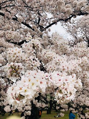 お花見2019 (5).jpg